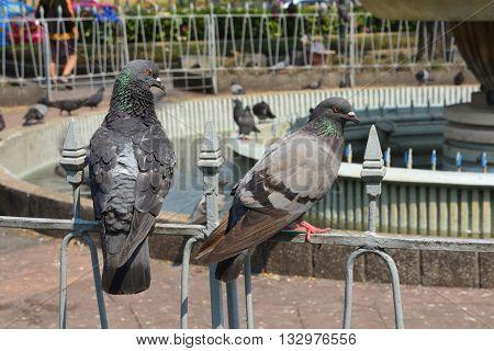 Pigeon grey. Beautiful pigeon close up, Bangkok, Thailand