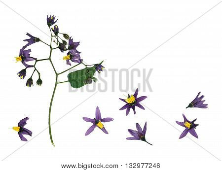 Pressed and dried delicate flower violet woody nightshade(solanum dulcamara) on stem with green leaves. Isolated on white background.