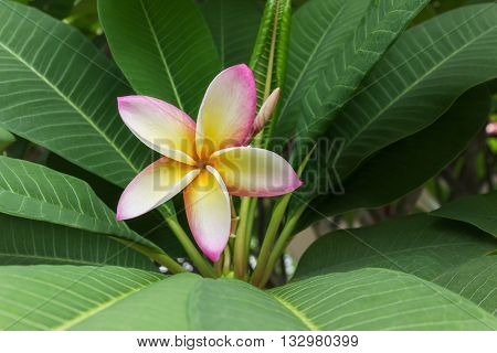 Beautiful Sweet Yellow Pink And White Flower Plumeria Or Frangipani And Fresh Green Leaf In Happy Mo