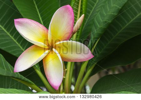 Beautiful Sweet Yellow Pink And White Flower Plumeria And Fresh Green Leaf In Happy Morning Mood And
