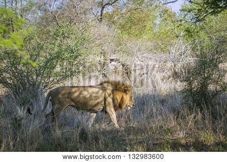 Specie Panthera leo family of felidae, wild male lion walking in the bush in South Africa