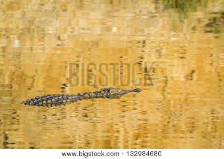 Specie Crocodylus niloticus family of Crocodylidae, Nile crocodile in the river in Kruger park