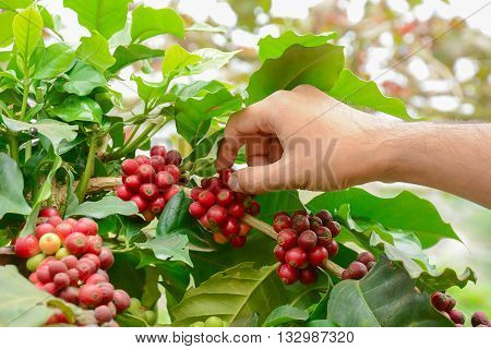 Hand picking red coffee beans on coffee tree - Arabica coffee