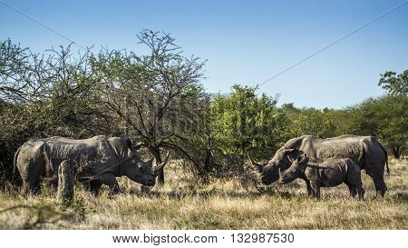 Specie Ceratotherium simum simum family of Rhinocerotidae, wild black rhinoceros standing in the bush in Kruger Park