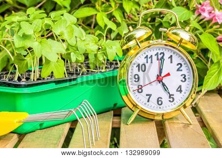 Container with the seedlings of morning glory flowers alarm clock mini-ripper on a wooden table in spring garden close up
