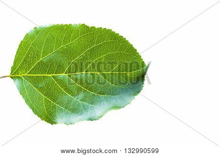 Apple leaf isolated on white background. Green leaf. Isolated on a white. Leaf from an apple tree studio isolated on white background. Green apple leaf Clipping Path. Green leaf isolated clipping path