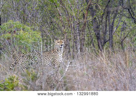 Specie Acinonyx jubatus family of felidaen, wild cheetah walking in the bush, Kruger park