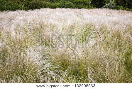 Field grass feather grass in a public botanical garden in the city of Krivoy Rog in Ukraine