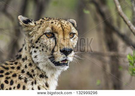 Specie Acinonyx jubatus family of felidaen portrait of a wild cheetah in the bush, Kruger Park