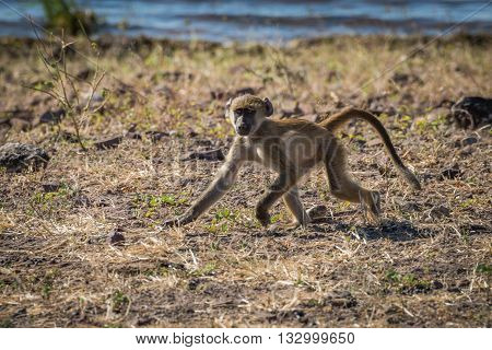 Baby Chacma Baboon Running Along River Bank