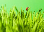 Ladybug sitting on a green grass poster