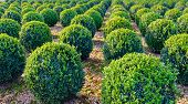 Globular pruned boxwood plants in a row at a specialized Dutch nursery. It is a sunny day in the fall season. poster