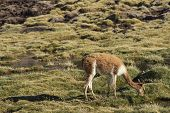Adult vicuna (Vicugna vicugna) grazing in a wetland in Lauca National Park on the Altiplano of north east Chile. poster