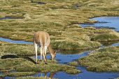 Baby vicuna (Vicugna vicugna) grazing in a wetland in Lauca National Park on the Altiplano of north east Chile. poster