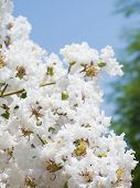 Flower of white Lagerstroemia indica(Crape myrtle) family Lythraceae shallow depth of field focus on pollen. poster