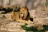 lion male at a zoo in barcelona spain. poster