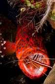 Leopard coralgrouper (Plectropomus leopardus) hiding in a coral reef with a cleaner shrimp in its mouth. Taken at Tulumben Bali Indonesia. poster