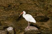 White Ibis wading bird fishing in a river near the Pacific Ocean in Mexico poster