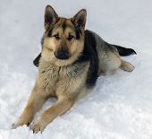 The big dog of breed a German shepherd lying on snow close up poster