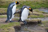 Two King Penguins step cautiously over uneven ground in Fortuna Bay, South Georgia Island. poster