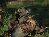 ducks showering in a nord italy lake in a sunny day. poster