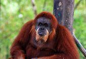 orang utan or ape taken in borneo jungle poster