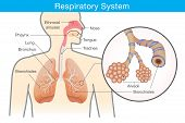 Respiratory system of human. This illustration about anatomy and physiology. poster