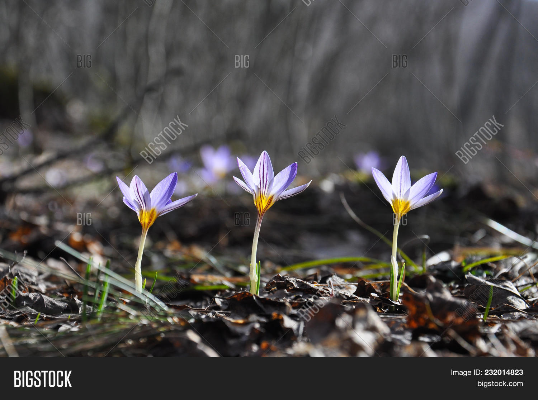 Saffron Crocus Image Photo Free Trial Bigstock