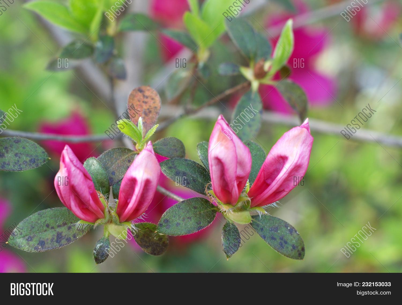Two Pink Azalea Flower Image Photo Free Trial Bigstock