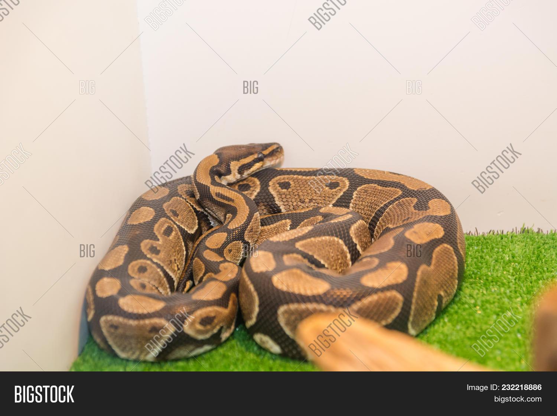 Snake Python Terrarium Image Photo Free Trial Bigstock