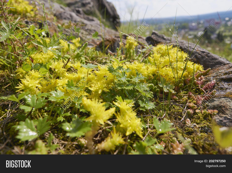 Close Flowering Sedum Image Photo Free Trial Bigstock