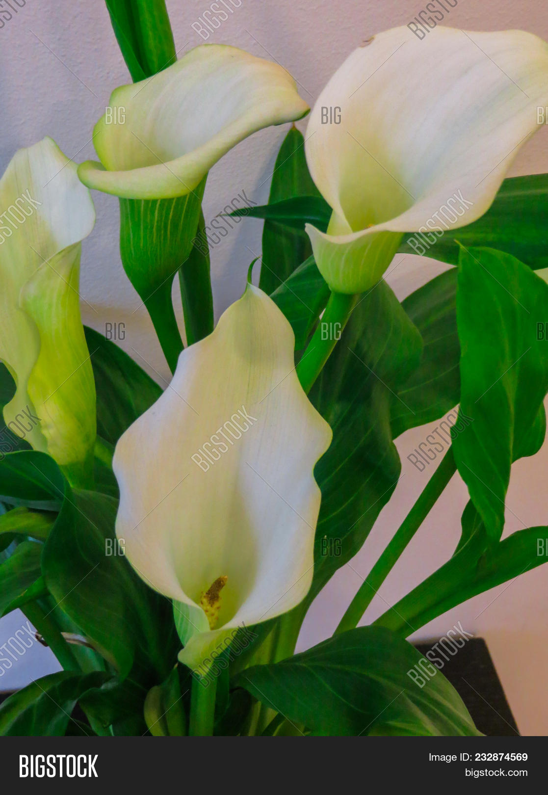 Calla lilies flowers image photo free trial bigstock calla lilies flowerswhite calla cultivated in a flower pot izmirmasajfo