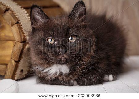 Purebred Cats. Purebred Kitten Kurilian Bobtail Near A Wooden Box
