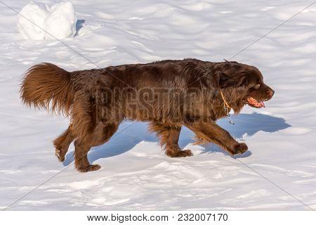 Newfoundland Brown Dog Run In Winter Sunny Day