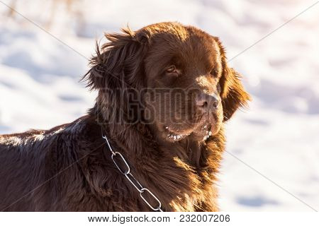 Newfoundland Brown Head Dog Looking Around In Winter Sunny Day