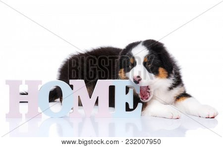 Beautiful Australian Shepherd purebred puppy, 2 months old with Home word. Happy black Tri color Aussie dog, isolated on white background.