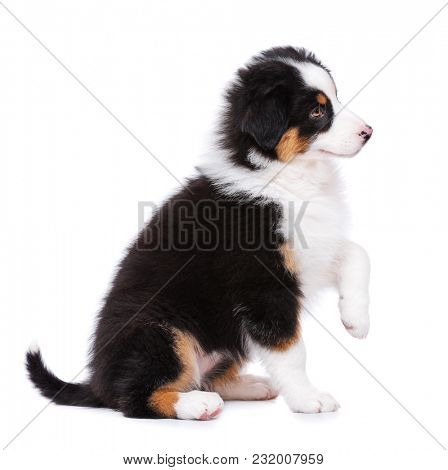 Australian Shepherd purebred puppy, 2 months old sitting on floor and looking away. Black Tri color Aussie dog, isolated on white background.