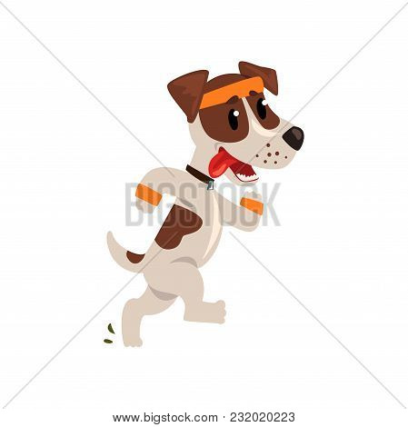Cute Jack Russell Terrier Athlete Running Putting His Tongue, Funny Sportive Pet Dog Character Doing