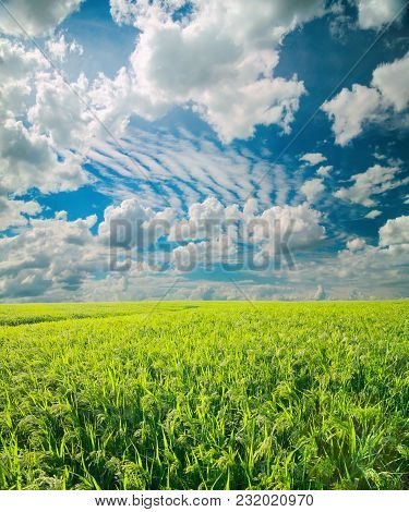 Millet Field. Green Field, Agriculture Landscape, Field Of Millet On A Background Of Blue Sky With C