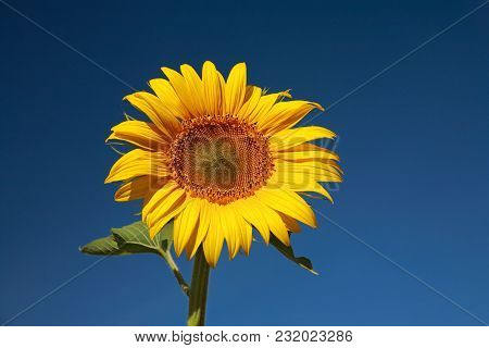 Nature, Sunflower Against The Blue Sky, Close-up