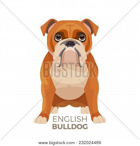British Bulldog Medium-sized Breed, English Bulldog Muscular, Hefty Puppy With Wrinkled Face And Dis