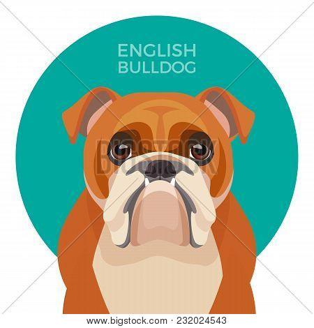 English Bulldog Medium-sized Breed, British Bulldog Muscular, Hefty Puppy With Wrinkled Face And Dis