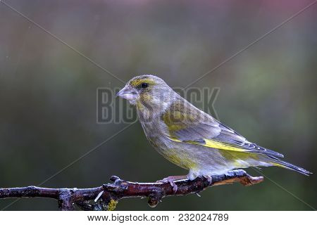 A Small Verderon Perched On A Branch Expects To Find Its Daily Food