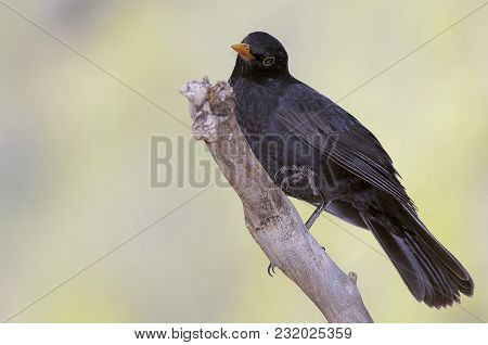A Blackbird With An Orange Beak Perched On A Branch And With A Green Background Looks For Food