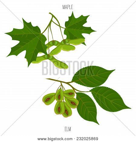 Maple And Elm Leaves And Seeds Vector Green Acer Leaf Samples Isolated On White Background. Maples I