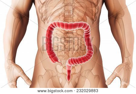 3d Illustration Of Large Intestine, Part Of Digestive System.
