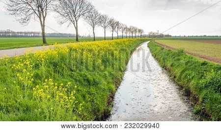 Typical Dutch Landscape At The Beginning Of The Spring Season. Along The Ditch Wild Mustard And Cano
