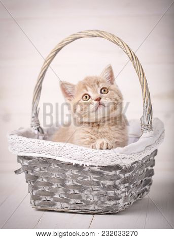 Cat, Pet And Animal Concept - A Sweet Scottish Cream Color Kitty Sits In A Wicker Basket. Portrait O