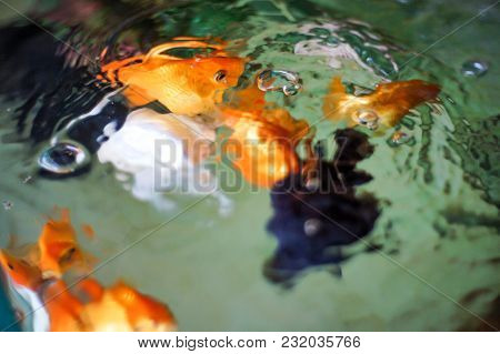 Movement Goldfsh In Water,a Small Reddish-golden Eurasian Carp, Popular In Ponds And Aquariums. A Lo