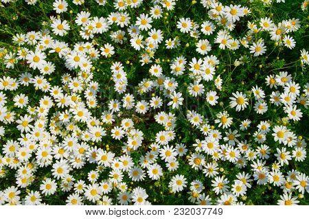 White daisy on green field